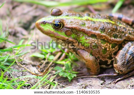 The marsh frog (Pelophylax ridibundus belongs to the family of true frogs) in the mud #1140610535