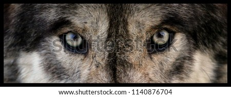 wolf eyes close up  #1140876704