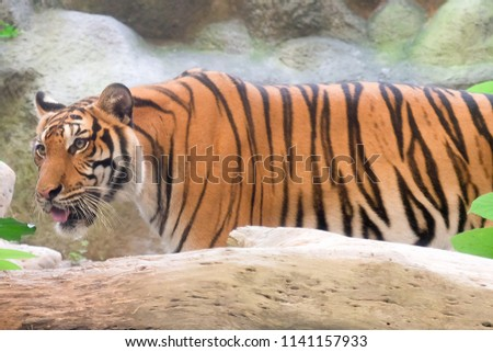 INDOCHINESE TIGER (Panthera tigris corbetti) in the zoo at Thailand #1141157933