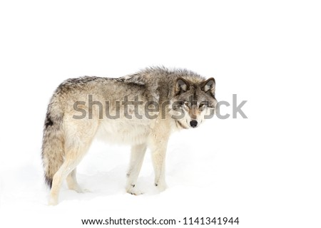 A lone Timber wolf or Grey Wolf Canis lupus isolated on white background standing in the winter snow in Canada #1141341944