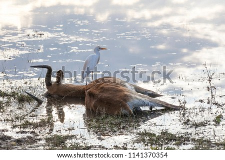 dead impala buck lying in the water with his white cattle egret still at his side, Mahango Game  Reserve, Namibia, Africa, third picture of a sequence of three