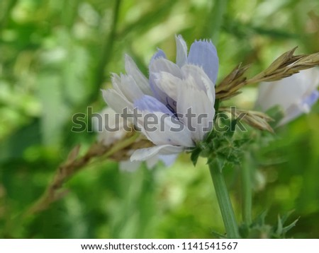 small chicory flower  #1141541567