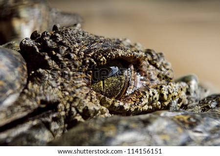 Closeup of Giant Crocodile Eye #114156151
