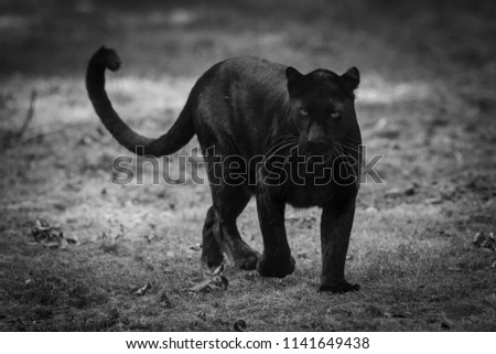 Black Panther in the forest