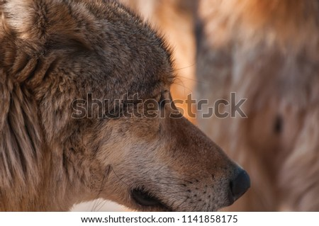 Portrait of a beautiful wolf in the zoo environment. #1141858175