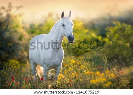 White horse portrait in poppy flowers at sunrise light #1141895219