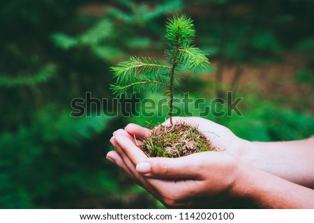 Female hand holding sprout wilde pine tree in nature green forest. Earth Day save environment concept. Growing seedling forester planting Royalty-Free Stock Photo #1142020100
