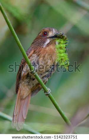 Portrait of White-whiskered Puffbird (Malacoptila panamensis) perched on small branch #1142323751
