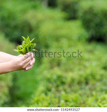 Most gardeners are collecting tea leaves. #1142493527