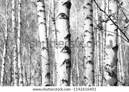 Black and white photo of black and white birches in birch grove with birch bark between other birches #1142616401