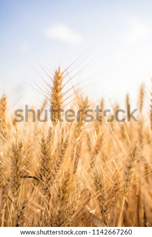 golden wheat field and sunny day #1142667260