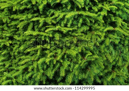 Background of Christmas tree branches. #114299995