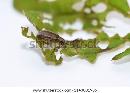 Pyrrhalta viburni - viburnum leaf beetle Royalty-Free Stock Photo #1143001985