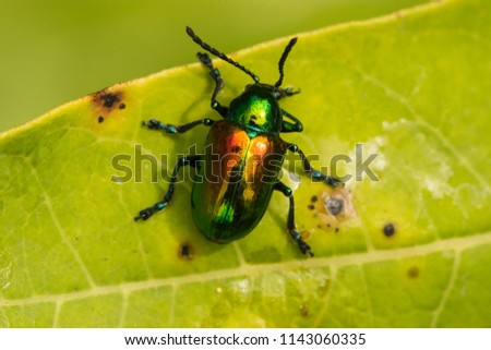 A Dogbane Beetle sitting on a Dogbane Plant leaf. Royalty-Free Stock Photo #1143060335