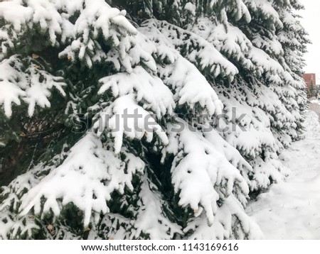 Winter texture with Christmas trees with branches festive covered with a thick layer of white cold shiny fluffy snow standing in a row like a fence in the forest. The background. #1143169616