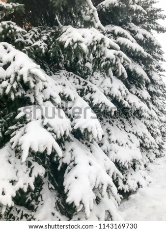 Winter texture with Christmas trees with branches festive covered with a thick layer of white cold shiny fluffy snow standing in a row like a fence in the forest. The background. #1143169730