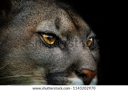 Close-up of cougar. Detail portrait american puma. Poster from life of animals.