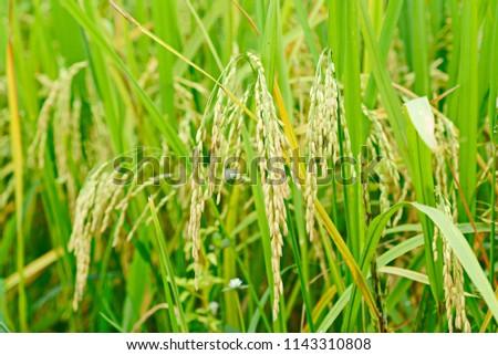 Green rice plant #1143310808