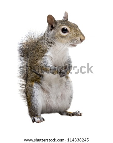 The American gray squirrel paw anxiously pressed to his chest