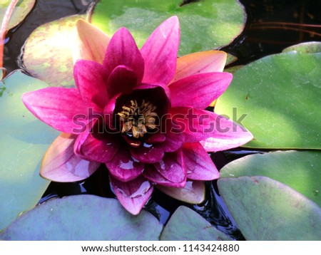 pink Lily blooms in the pond #1143424880