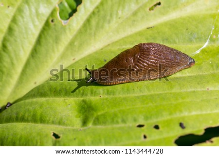 Red Slug ( Arion rufus ) on a green  leaf. Cause of the most damage in garden. Agricultural pest. Close up Royalty-Free Stock Photo #1143444728