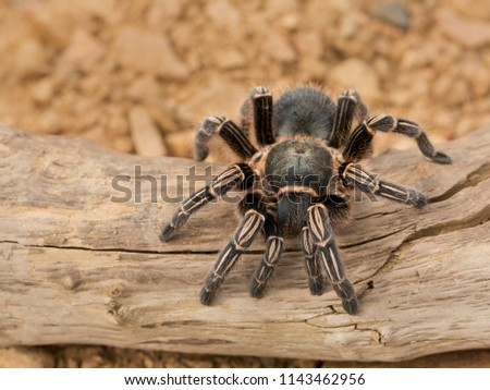 Costa Rican zebra tarantula, also known as the striped-knee tarantula (Aphonopelma seemanni), is a species of tarantula inhabiting most of western Costa Rica, as well as other parts of Central Am. #1143462956