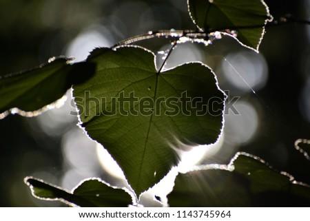 Sun shining through leaf #1143745964