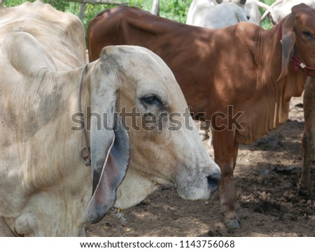 Beef cattle Hybrids in the farm #1143756068
