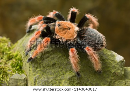 Brachypelma smithi is a species of spider in the family Theraphosidae (tarantulas) native to Mexico.  Mexican redknee tarantulas are a popular #1143843017