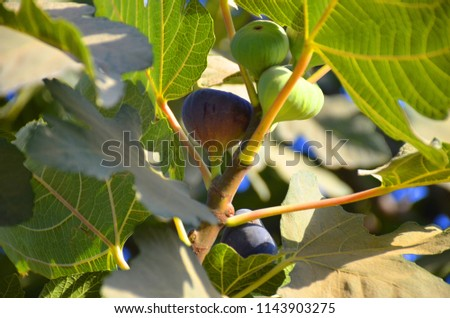 The fruit of the black fig #1143903275