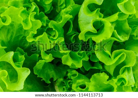 Fresh green leaves lettuce salad background close-up. #1144113713