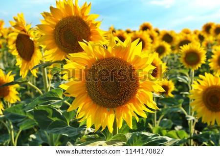 Prettiest sunflowers field with cloudy blue sky in Odessa region, Ukraine. Closeup of sunflower on farm. Rural landscape. #1144170827