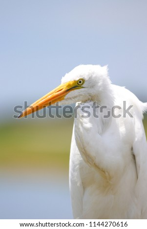 Great Egret posing  #1144270616