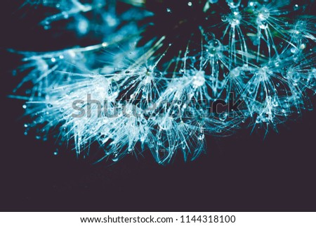 Close up photo of dandelion seeds with water drops, filtered background. #1144318100
