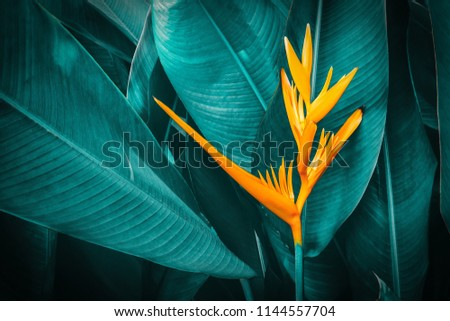 orange tropical exotic flowers blooming on leaf in rainforest, dark blue toned foliage, nature background #1144557704