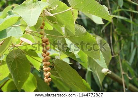 Mallotus barbatus fruit #1144772867