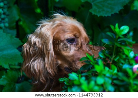 A brown cocker spaniel dog sitting in the bushes in the garden - selective focus #1144793912