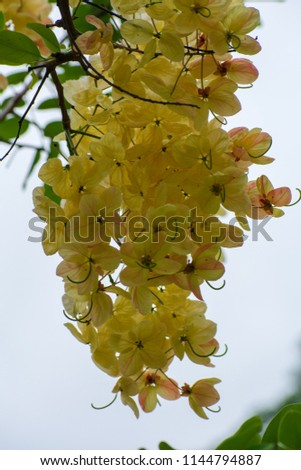 Cassia fistula /Cassia bakeriana (or) Cassia fistula/Cassia javanica (Rainbow shower tree) ; A brightly colors are eye-catching , pinkish white flowers, bunch into large bouquet , on high tree. #1144794887