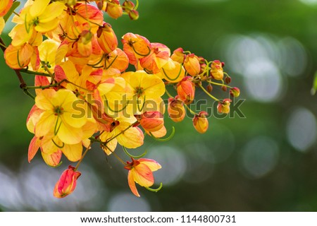 Cassia fistula /Cassia bakeriana (or) Cassia fistula/Cassia javanica (Rainbow shower tree) ; A brightly colors are eye-catching , pinkish white flowers, bunch into large bouquet , on high tree. #1144800731