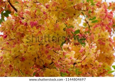 Cassia fistula/ cassia bakeriana (or) Cassia fistula/Cassia javanica ( Rainbow shower tree). A brightly colors are yellow or oranges or pinkish , golden . #1144804697