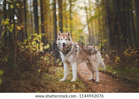 Portrait of gorgeous Siberian Husky dog standing in the bright enchanting fall forest. Royalty-Free Stock Photo #1144942076