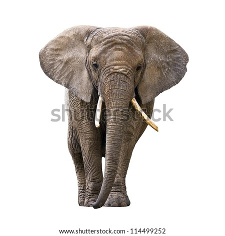 Elephant isolated on white Royalty-Free Stock Photo #114499252