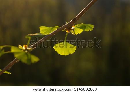 GINKO LEAF#BEATIFUL GINKO LEAF IN SUMMER TIME#BACKGROUND#FRESH BACKGROUND#FRESHNESS#GINKO BILOBA#GINKO LEAVES#GINKO TREE#GREEN#GREEN ENERGY#GREEN LEAF#LEAFS#NATURE#NATURAL#PLANT#SUMMER#BLUE SKY #1145002883