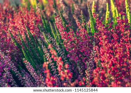 Calluna vulgaris (known as common heather, ling, or simply heather). Bright colorful autumnal background. Filled full frame picture. Diversity of plants in city flowerpot. Heather of various species. #1145125844
