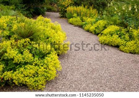 Alchemilla mollis in flower alongside garden path #1145235050