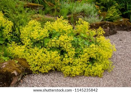 Alchemilla mollis in flower alongside garden path #1145235842