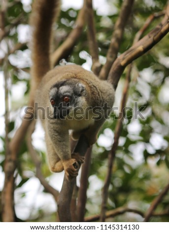 Brown Lemur Eulemur Fulvus on the tree #1145314130