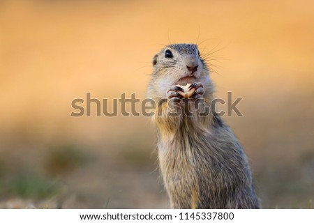 Cute European ground squirrel, suslik Spermophilus citellus with food. Photo from world of wild animals. #1145337800