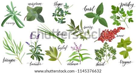 Set of popular culinary herbs with hand written names. Rosemary, majoram, thyme, basil, parsley, chives, savory, sumac, tarragon lavender bay leaf verbena chervil oregano #1145376632