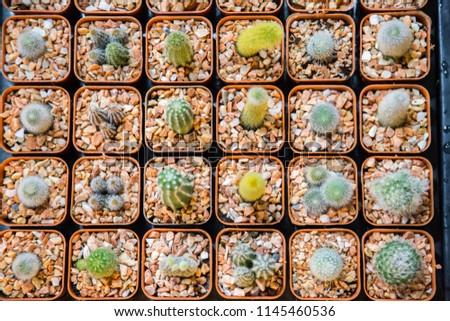little cactus in market #1145460536